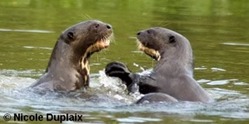 Two Giant Otters Play-Fighting
