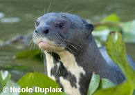 Giant Otter looks up from among the water hyacinths.  Copyright Nicole Duplaix